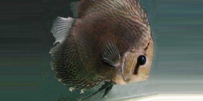 бактериальная болезнь рыб