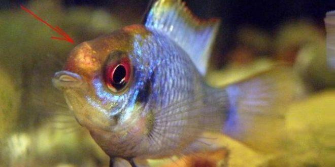 Дермоцистидиоз у аквариумных рыб