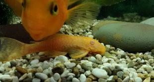 Лепирдотоз у аквариумной рыбки