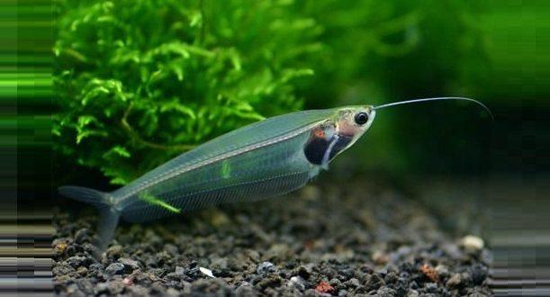 Прозрачные рыбы