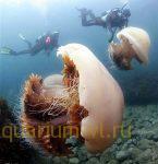гигантские медузы