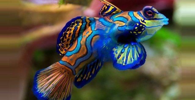 мандаринка морская рыбка