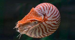 головоногий моллюск