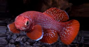 Nothobranchius kadleci fish
