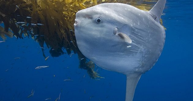 Овальная луна-рыба