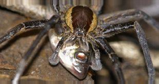 пауки-рыболовы