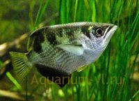 Рыбка брызгун