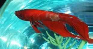 Рыба с симптомами Колумнариоза