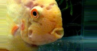 Гексамитоз болезнь рыб