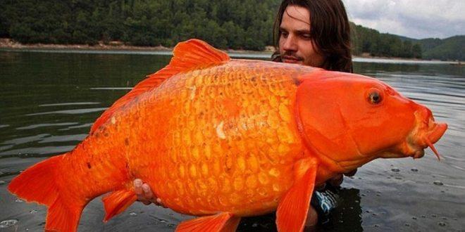 Золотая рыбка монстер