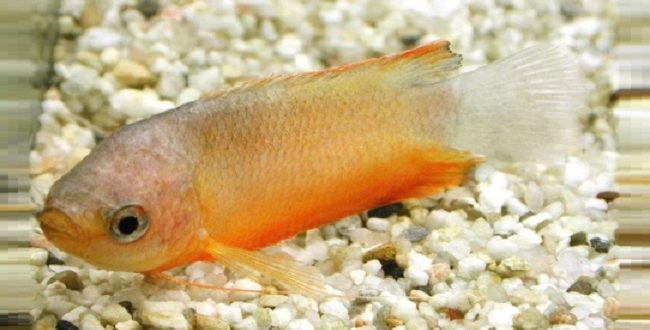 Рыба с признаками хилодонеллёза