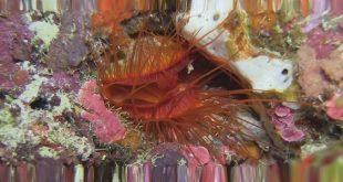 моллюск Ctenoides ales
