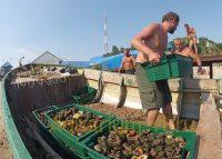 Крупный моллюск рапана
