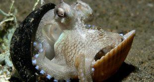 осьминогов называют «приматами моря»