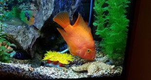 Неправильное кормление может вызвать воспаление ЖКТ рыб