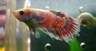 Рыбка, заболевшая плавниковой гнилью