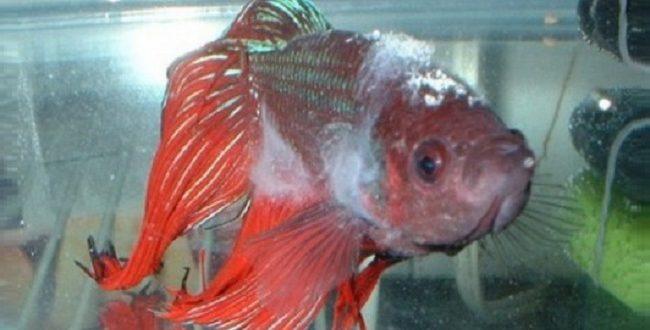 Рыбка, заражённая сапролегниозом