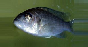 Триходиноз болезнь рыб