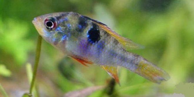 Туберкулёз аквариумных рыб
