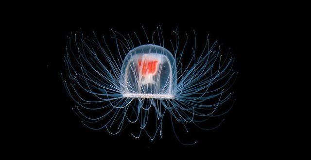 Медуза Turritopsis dohrnii