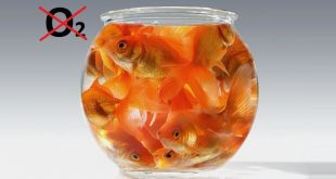болезнь аквариумных рыб аноксия