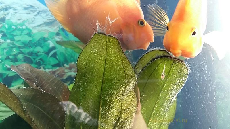 Поведение цихлиды попугай в аквариуе