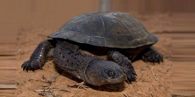 Колючая плоская черепаха