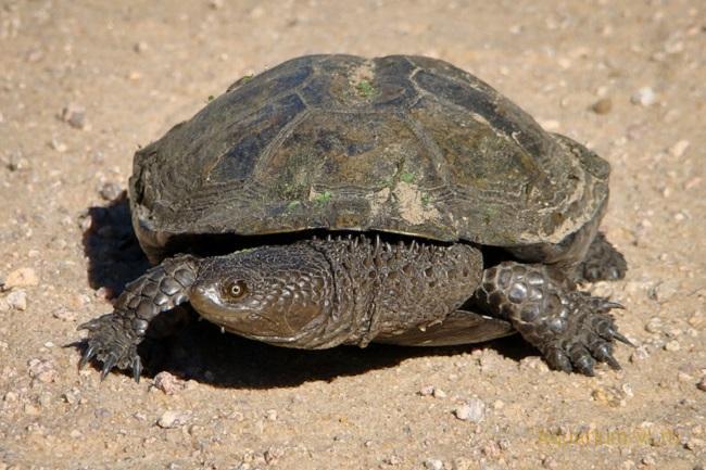 Колючая плоская черепаха советы содержания