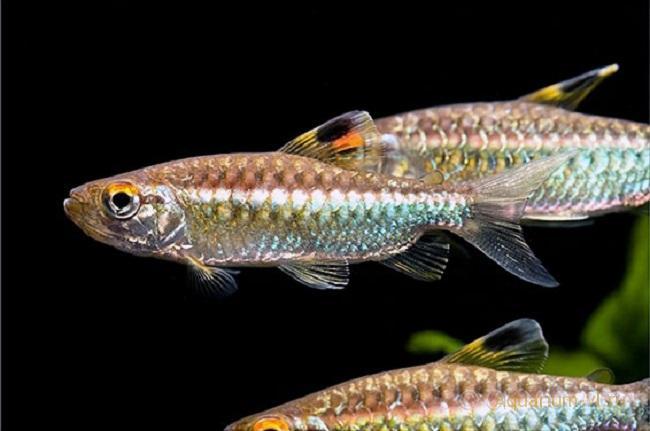 Arnoldichthys spilopterus мирная рыбка