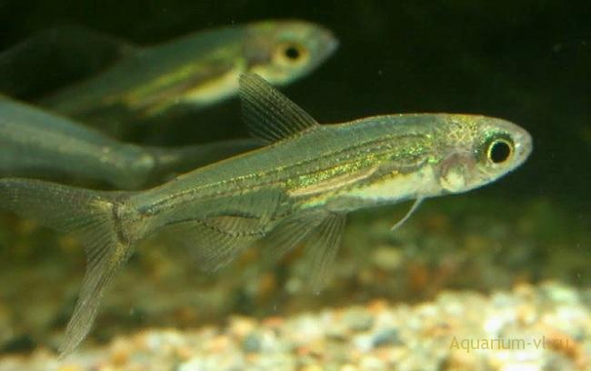 Харацин Адониса аквариумная рыбка