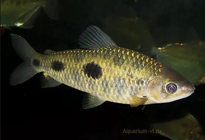 Leporinus maculatus