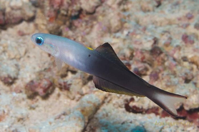 Морская рыбка Птерэлеотрис голубой