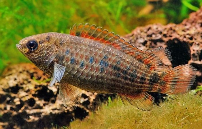 Рыбки бенгальские бадисы