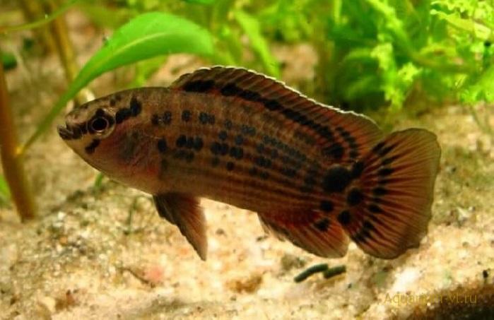 Рыбка бадис