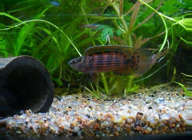 Аквариумная рыбка Бадис бирманский