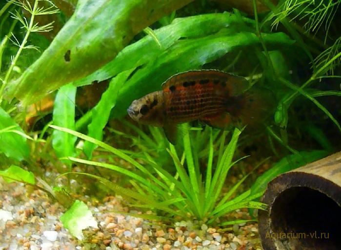 Бадис бирманский в аквариуме