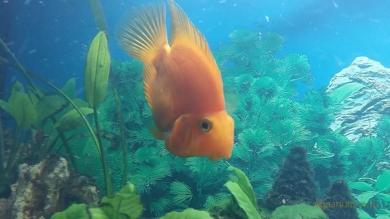 оригинальная рыбка попугай