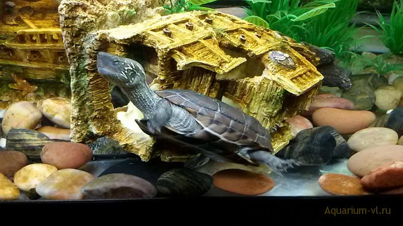 Черепаха Ривза, террариум 600 л