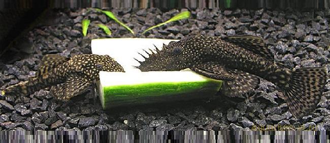 ациструсы – санитары аквариума