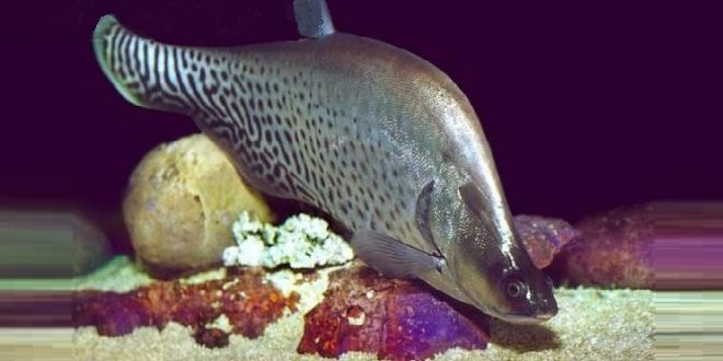 Рыба-нож Бланша