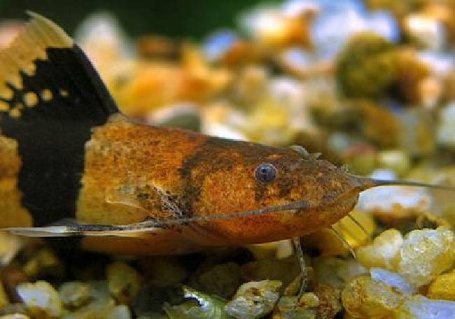 аквариумная рыбка сом-пчелка