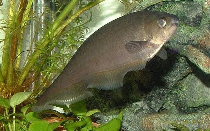 Аквариумная рыбка Африканская рыба-нож