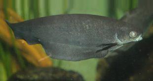 Африканская рыба-нож