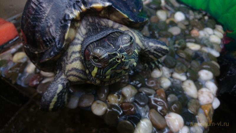 панцирь красноухой черепахи