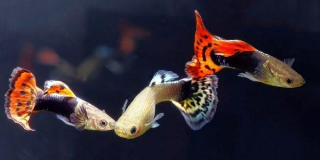 поведение гуппи в аквариуме