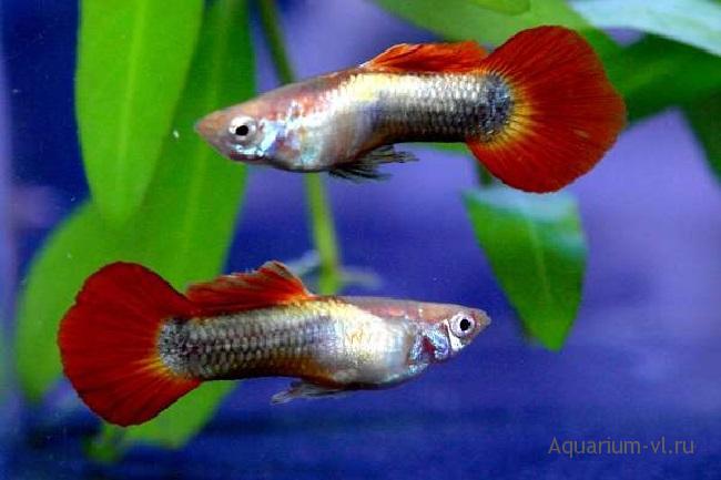 Температура воды в аквариуме для рыбок гуппи