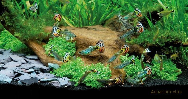 Когда мальков гуппи можно выпускать в общий аквариум