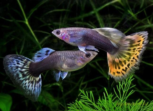 Оптимальная температура воды в аквариуме для гуппи