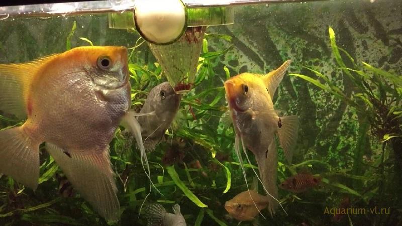 Как кормить рыб мотылем в аквариуме