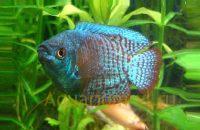 Лялиус аквариумная рыбка